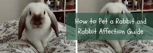 how to pet a rabbit
