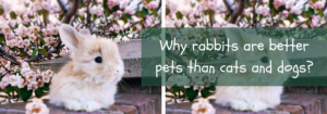 rabbit for pets at home
