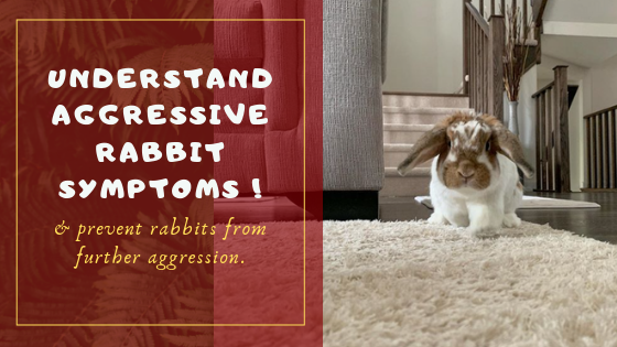 aggressive rabbit body language
