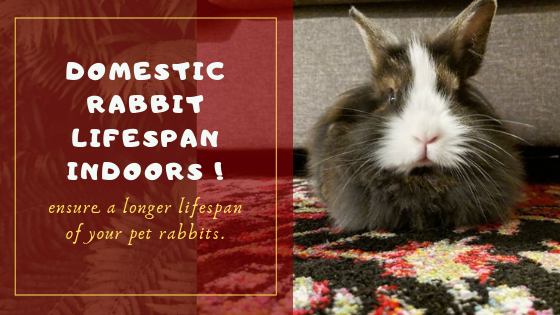 domestic rabbit lifespan indoors