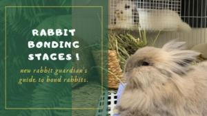 rabbit bonding stages