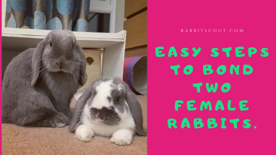 bonding two female rabbits