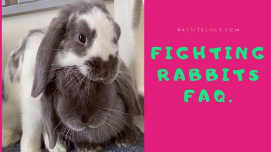 rabbits fighting