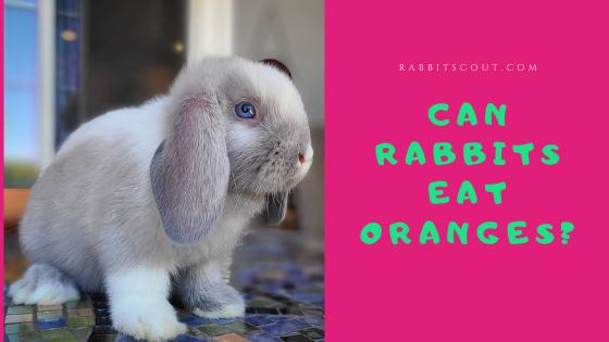 can rabbits eat oranges
