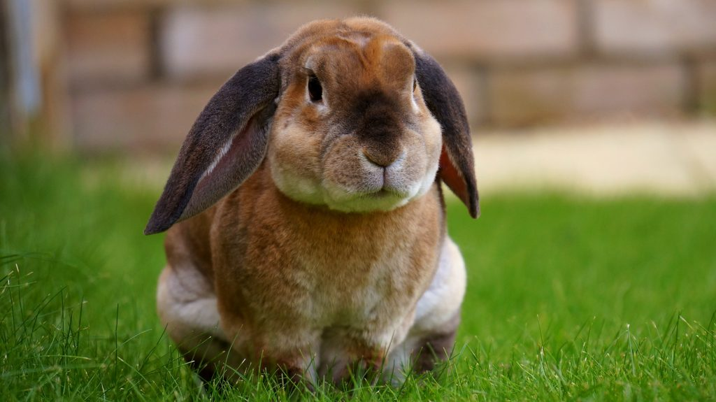 What Makes a Good Male Pet Rabbit Name?