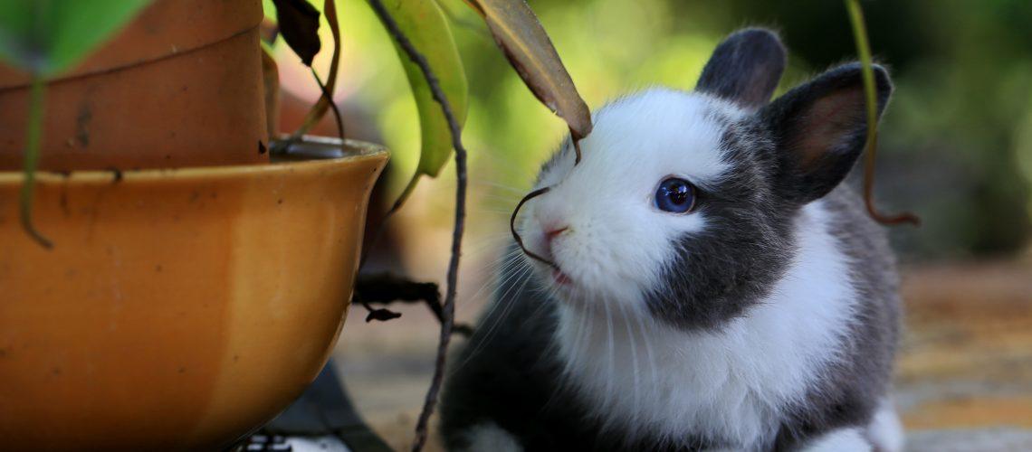 Do rabbits get fleas?