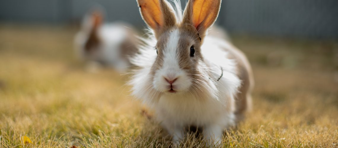 Rabbit running inside his enclosure