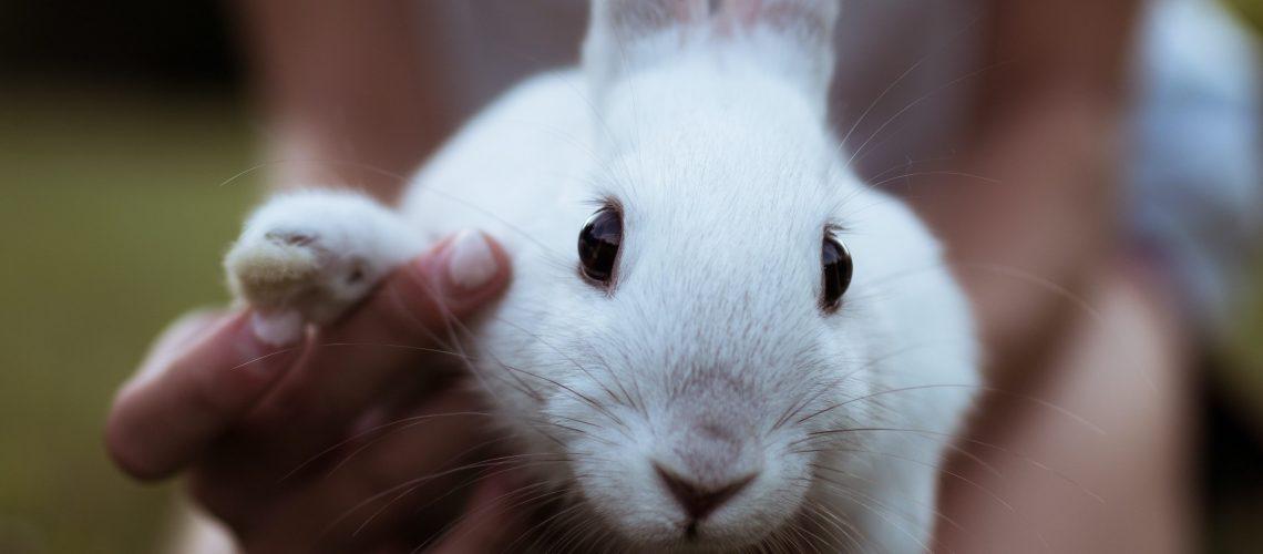 Cutting rabbit's nails